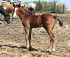 2011 bay stud colt - Badgers Blue Bandit x Abilene
