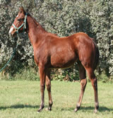 2011 bay stud colt - Freckles Jaxa Doc x Honest Command