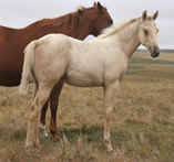 2016 palomino stud colt - April x Freckles Jaxa Doc