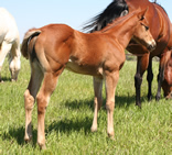 2011 chestnut stud colt - Zippos Tom Dooley x Gamblers Lil Angel