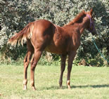 2011 chestnut stud colt - Badgers Blue Bandit x Beaus Blonde Lady