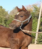 2012 chestnut stud colt - Beaus Blonde Lady x Zippos Tom Dooley
