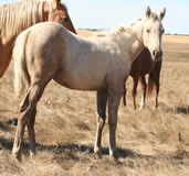 2012 palomino filly - Docs Yellow Spark x Zippos Tom Dooley