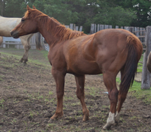 2012 chestnut gelding - Zippos Tom Dooley x Beaus Blonde Lady