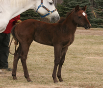 2012 gray stud colt Boston Chickasaw x Badgers Blue Bandit