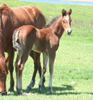 2011 bay stud colt - Freckles Jaxa Doc x Zippos Sugar Bars