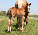 2011 chestnut filly - Zippos Tom Dooley x Lopez Yellow Spark