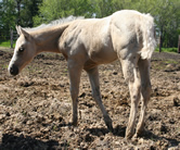 2011 palomino filly - Badgers Blue Bandit x Flick