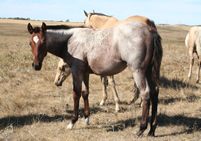 2012 bay roan filly - Frosts Jasmine Drift x Badgers Blue Bandit
