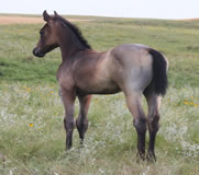 2012 filly -       x Badgers Blue Bandit