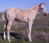 2006 Palomino stud colt - RWS Rio San Peppy x Just A Major Sweety