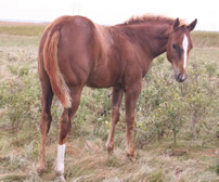 2016 chestnut filly - Shimmer x Zippos Tom Dooley