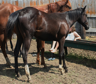 2012 black filly - Badgers Blue Bandit x Riosmidnightsurpriz