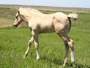 2011 palomino stud colt - Zippos Tom Dooley x RWS Youngs Sunshine