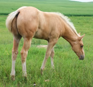 2012 palomino stud colt - RWS Young Sunshine x Zippos Tom Dooley