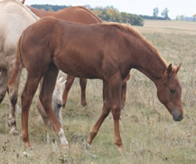 2016 chestnut filly - Just a Major Sweety x Zippos Tom Dooley
