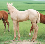 2012 palomino stud colt - Zippos String of Pearls x Zippos Tom Dooley