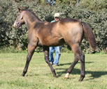 2011 buckskin filly - Zippos Tom Dooley x Zippos String of Pearls
