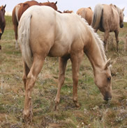 2016 palomino stud colt - Zippos String of Pearls x Zippos Tom Dooley