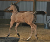 2016 buckskin filly - Buttermilk x Zippos Tom Dooley